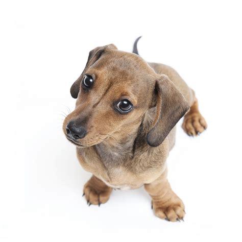 puppy strangles treatment puppy strangles disease overview symptoms treatment