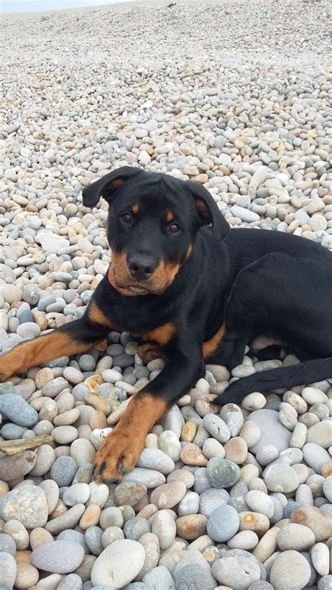 7 month rottweiler for sale beautiful 7 month rottweiler swadlincote derbyshire pets4homes