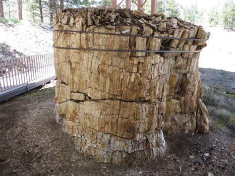 florissant fossil beds giant petrified redwood stump picture of florissant