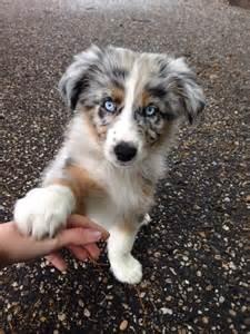 an australian shepherd puppy australian shepherd of australische herder rassen