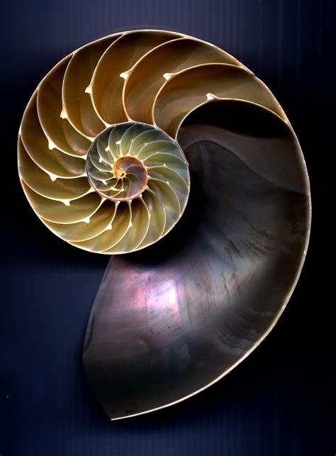 nautilus pattern nature nautilus shell sea shells pinterest