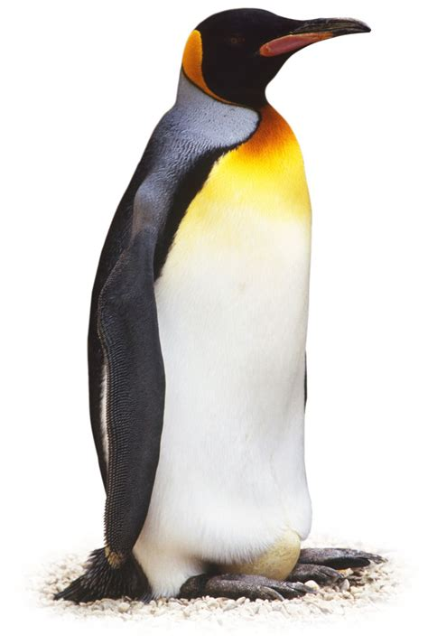what color are penguins dk find out facts for on animals earth