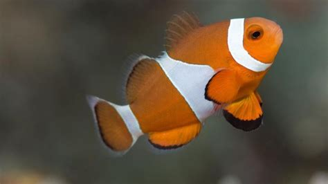 anemone eat clownfish what do clownfish eat reference