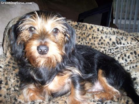 yorkie and dotson mix a photo of a 1yr black dorkie dachshund yorkie mix greatdogsite