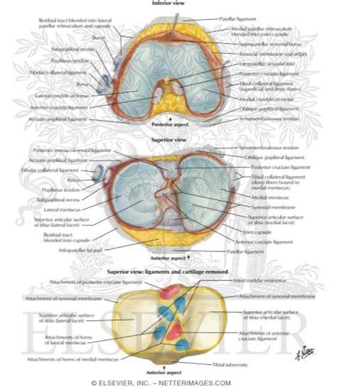 cross sectional anatomy atlas illustrations in anatomy atlas 5e