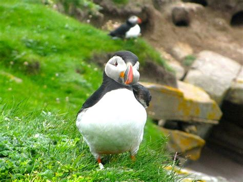 where to find puffins in scotland