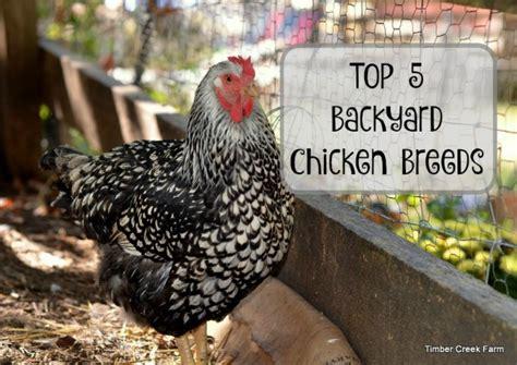 backyard chickens timber creek farm