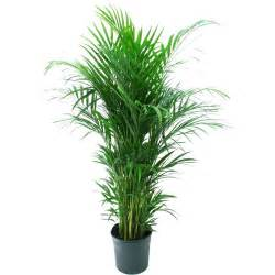 home depot indoor plants delray plants 9 1 4 in areca palm in pot 10areca the