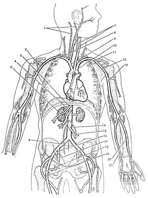 coloring page of arteries free coloring pages