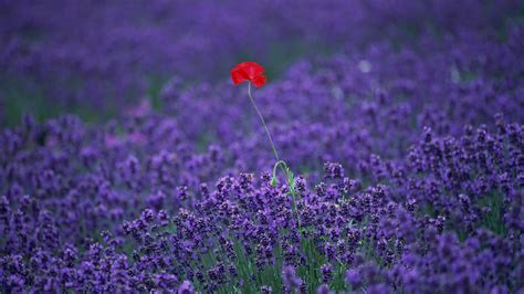 tapete lavendel lavender hd wallpapers wallpaper high definition high