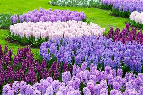 hyacinths growing and care of hyacinth flowers garden