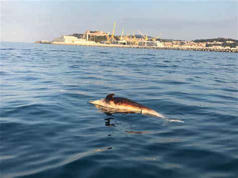 porto delfino delfino morto al largo porto cronache ancona