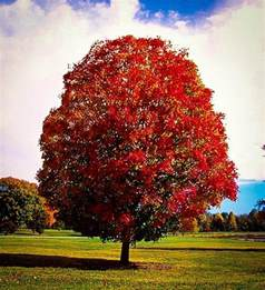 autumn blaze maple texas images
