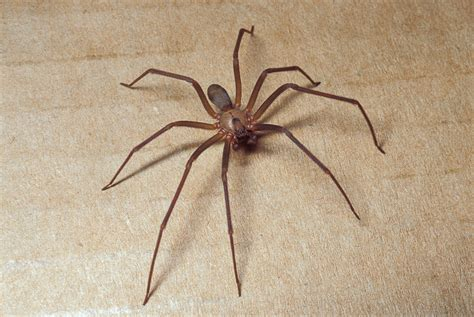 violin pattern on brown recluse brown recluse violin spider mdc discover nature