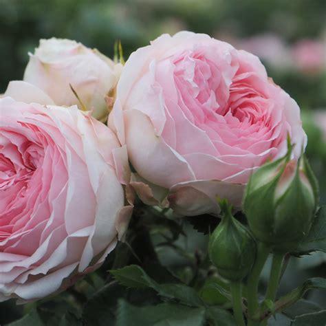 Larissa Flower Big h 248 jg 229 rd planteskole nursery produkter roser larissa flower circus