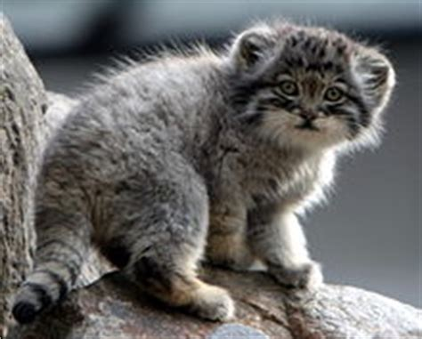 Rare Pallas Cat Facts, Beautifully Wild Feline, aka Manul