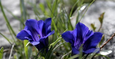 gentian fiori di bach gentian benessere dal mondo