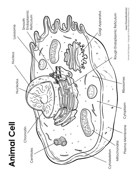 printable animal cell diagram animal cell diagram labeled tim van de vall