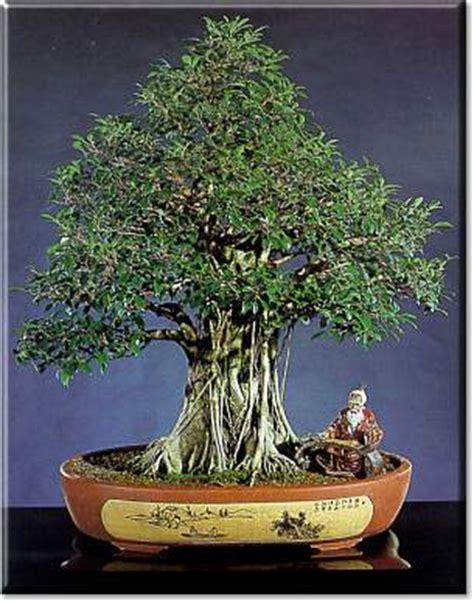 bonsai da interni artefiori ficus bonsai da interno