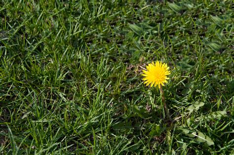 how to get rid of grass in flower beds dandelion control how to get rid of dandelions