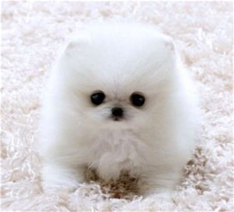 baby white pomeranian baby white pomeranian the animals i most poof baby and words