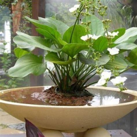 jenis tanaman air  pot