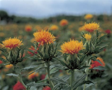 safflower images download trip to yamagata gateway to