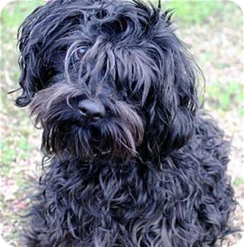 shih tzu puppies new orleans new orleans la shih tzu poodle miniature mix meet shaka zulu a for adoption