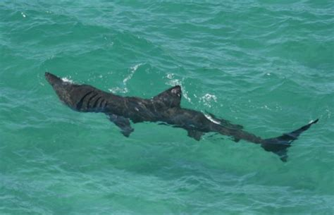 baby shark uk the seaquest basking shark project a uk conservation