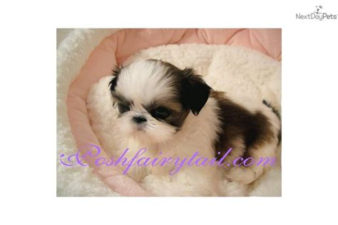shih tzu puppies for sale in va shih tzu teacup puppies for sale breeds picture