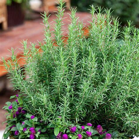 rosemary herb plants garden plants flowers garden