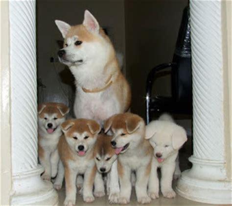 Anak Anjing gambar anjing akita amerika gambar anjing ras foto