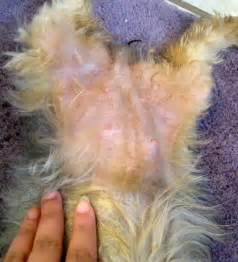 yorkie gestation how many days a pets world