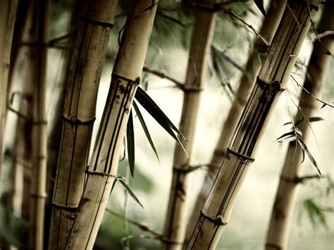 How To Make A Bamboo L by Wallpapers Bamboo Wallpapers