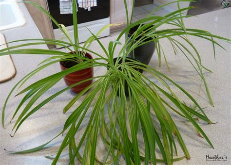 spider plant low light houseplants spider plant chlorophytum comosum