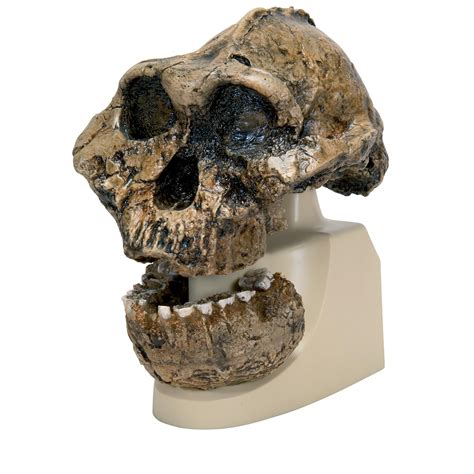 Skull L by Comparative Anatomy Model Plastic Skull Model
