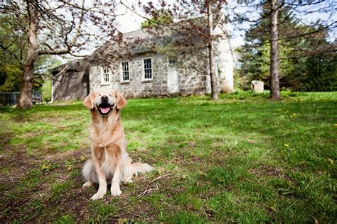 smiley golden retriever smiley il golden retriever nato cieco che con la sua allegria aiuta i disabili a