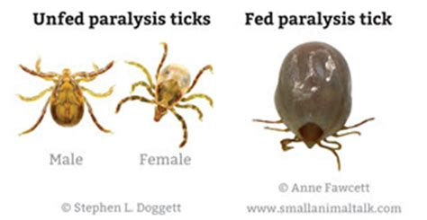 tick paralysis in dogs tick flea prevention for australian dogs australian lover