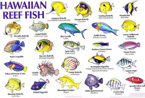 hawaiian names hawaii reef fish guide with hawaiian names 1 aloha joe hawaiʻi fauna sea