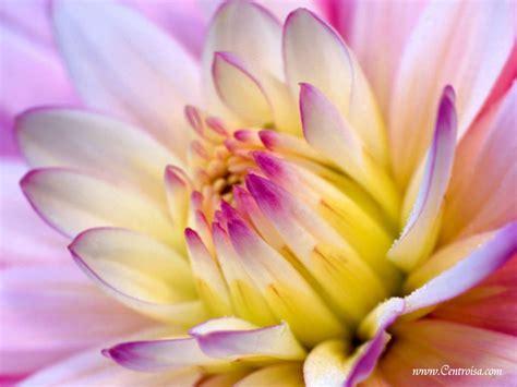 immagini fiori sfondi fiori centro isa