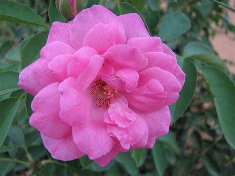 fiori fotografie gratis enzorosso fiori sfondi gratis
