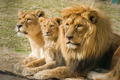 imagenes de leones macho y hembra imagenes de leones abril 2013