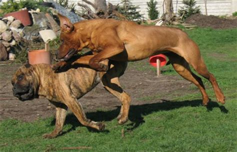 dog fighting breeds. learn what breeds of dog were used