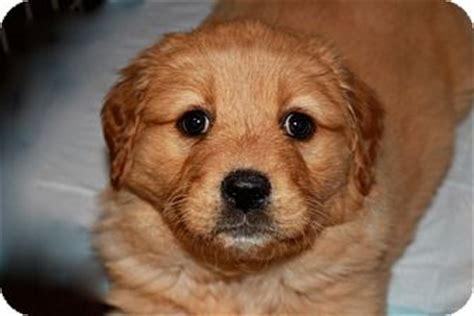 golden retriever puppies huntsville alabama truffle adopted puppy huntsville al golden retriever rottweiler mix