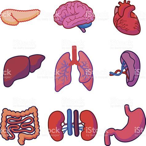 imagenes reales de organos del cuerpo humano 211 rganos humanos illustracion libre de derechos 180248562