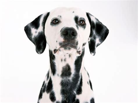 free dalmatian puppies dalmatian wallpaper free images at clker vector clip royalty