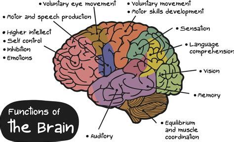 sections of the brain and what they do the brains functions by crystal montano and mellanie