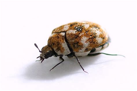 beetles that look like bed bugs that kind of looks like a bed bug sterns chatter