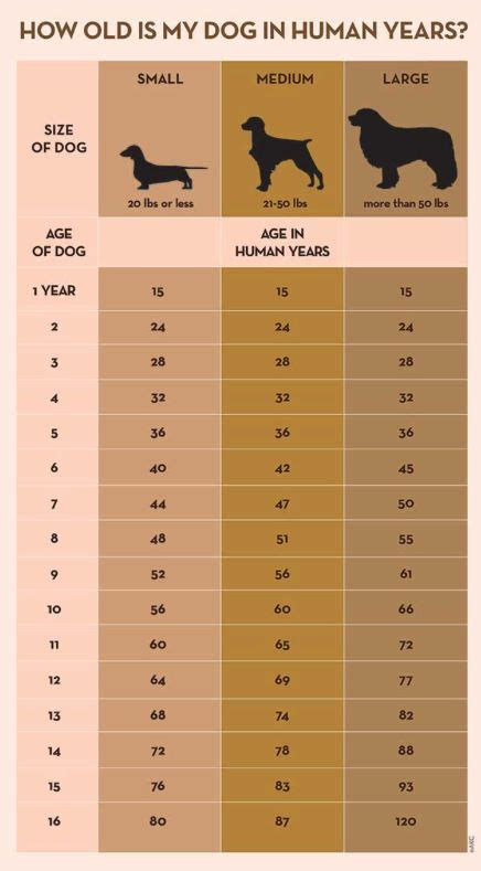 what age can dogs puppies best 25 years ideas on year calculator ages and age chart