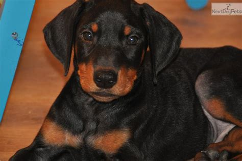 puppies for sale in hickory nc doberman pinscher puppy for sale near hickory lenoir carolina 169b56d6 af11